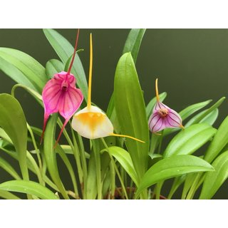 Angebot Masdevallia Mix 3