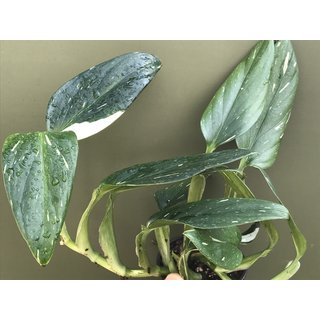 Philodendron White Star