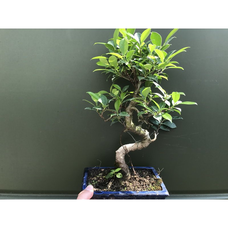 bonsai ficus benjamini online bestellen 24 90. Black Bedroom Furniture Sets. Home Design Ideas