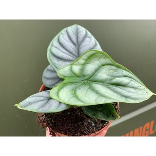Alocasia Blue Tiger XL