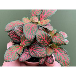Fittonia albivenis - Mosaikpflanze rot Babyplant