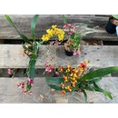Angebot Oncidium Orchideen Mix (3 Orchideen)