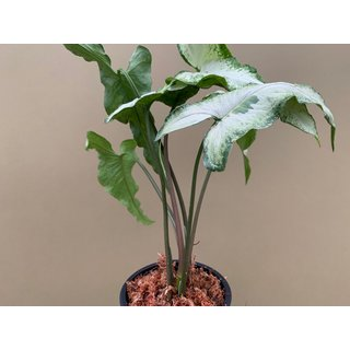 Syngonium podophyllum Three Kings