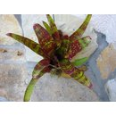 Neoregelia red spotted