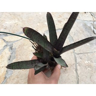 NEW Neoregelia ampullacea purple lila