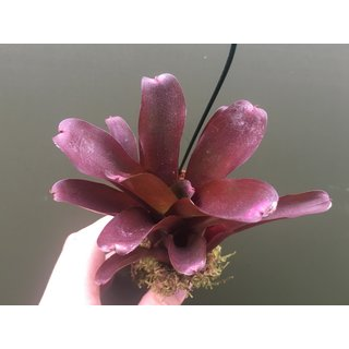 Neoregelia red
