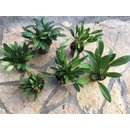 Angebot Miniaturorchideen Mix (6 Orchideen)