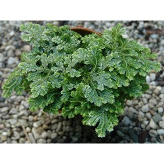 Selaginella spec. Panama