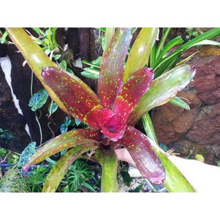 Neoregelia bright eye