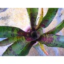 Neoregelia Screaming Tiger