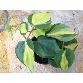 Philodendron scandens Yellow Star