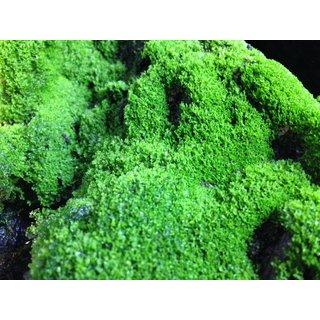 Berühmt Ben´s Jungle Moosmix 20g (Moossporen), 8,50 € #TW_48